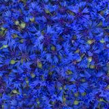 Medicinal plants - cornflower blue Centaurea cyanus. Blue solid floral natural background consists of cornflower flowers. Medicinal plant cornflower collected royalty free stock image