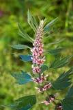 Medicinal plants herbs Siberian motherwort, Latin name Leonurus sibiricus,. Selective focus stock photography