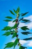 Medicinal plants herbs Siberian motherwort, Latin name Leonurus sibiricus,. Selective focus stock photos