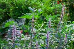 Medicinal plants herbs Siberian motherwort, Latin name Leonurus sibiricus,. Selective focus royalty free stock photography