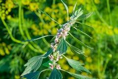 Medicinal plants herbs Siberian motherwort, Latin name Leonurus sibiricus,. Selective focus stock photo