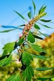 Medicinal plants herbs Siberian motherwort, Latin name Leonurus sibiricus,. Selective focus royalty free stock images