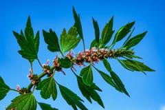 Medicinal plants herbs Siberian motherwort, Latin name Leonurus sibiricus,. Selective focus royalty free stock photo