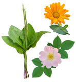 Medicinal plants isolated. Plantain, dog-rose, marigold medicinal plants isolated royalty free stock image