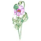 Medicinal poppie royalty free illustration