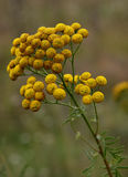 Medicinal raw material of tansy Stock Photo
