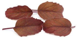 Medicinal red tulsi leaves Stock Image