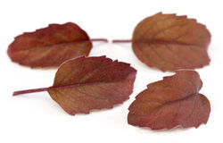 Medicinal red tulsi leaves Royalty Free Stock Photo