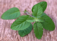 Medicinal red tulsi leaves. On wooden surface Royalty Free Stock Images