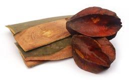 Medicinal Terminalia arjuna Stock Images