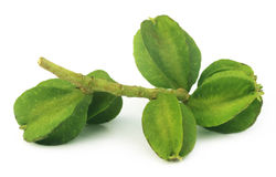 Medicinal Terminalia arjuna Stock Photos