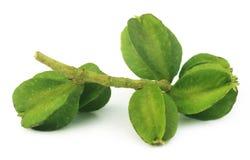Medicinal Terminalia arjuna Stock Photos