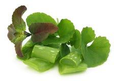 Medicinal thankuni, alo vera and tulsi leaves Stock Photo