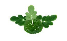 Medicinal Thankuni  & Edible moringa leaves Stock Photo