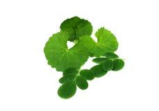 Medicinal Thankuni  & Edible moringa leaves Stock Photos