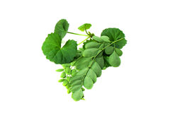 Medicinal Thankuni  & Edible moringa leaves Stock Photo