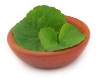 Medicinal thankuni leaves on a clay pot Stock Images