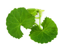 Medicinal Thankuni Leaves. Over white background Royalty Free Stock Photos