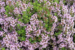 Medicinal Thyme Background. A background consisting of the medicinal and culinary ingredient , sweet smelling herb Thyme in full flower Stock Photos