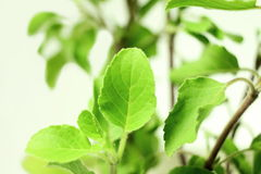 Medicinal tulsi or holy basil indian herb plant Stock Image