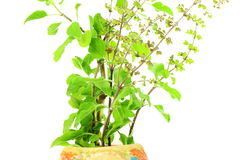 Medicinal tulsi or holy basil indian herb plant on white background Royalty Free Stock Photos