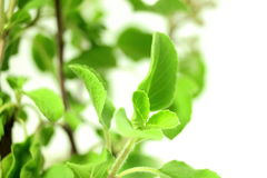 Medicinal tulsi or holy basil indian herb plant on white background Royalty Free Stock Images
