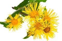 medicinal växt Elecampane (Inula helenium) royaltyfria foton