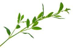medicinal växt Knotweed royaltyfri bild