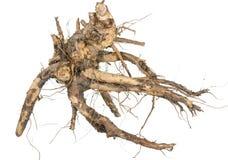medicinal växt Rota av elecampanen royaltyfria foton