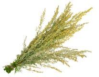 Medicinal växt. Sagebrush royaltyfri foto