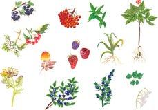 medicinal växter för samlingsillustration vektor illustrationer
