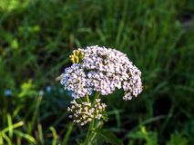 Medicinal wild herb Yarrow  Achillea millefolilium . The plant during flowering Royalty Free Stock Photography