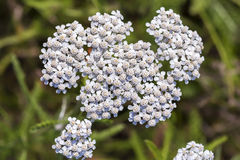Medicinal wild herb Yarrow Achillea millefolilium. The plant during flowering with pink-colored flower , closeup royalty free stock photo