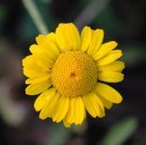 Medicinal yellow chamomile Stock Photography