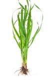 Medicinalväxt: Elytrigia repens Soffa-gräs royaltyfri fotografi