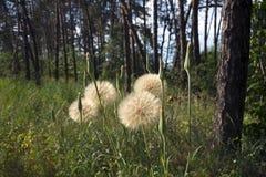 Medicinalväxt - maskros, bland träden i barrskogen royaltyfria bilder