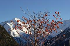 Medicinalväxten Rosa Canina Dog Rose bär frukt med berg som bakgrund Foto som tas i en solig vintereftermiddag royaltyfri bild