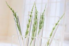 MedicinalväxtHorsetail i provrör royaltyfri fotografi
