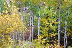 Medicine Bow National Forest Landscape Wyoming. Aspen trees grow amongst the rocky landscape of Medicine Bow National Forest in Wyoming stock images