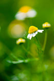 Medicine chamomile flower Royalty Free Stock Images