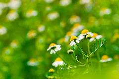 Medicine chamomile flower Royalty Free Stock Photos