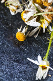 Medicine Chamomile flowers Royalty Free Stock Photo