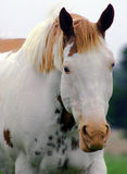 Medicine Hat Paint Horse. American Paint Horse with blue eyes; white face with top of head and ears sorrel, known as the medicine hat marking. Horses with these Stock Photo