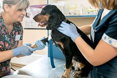 The medicine, pet care and people concept - dog and veterinarian doctor at vet clinic. The medicine, pet care and love to animals concept. The dog and Stock Image