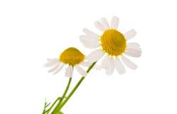 Medicinsk chamomile royaltyfria foton