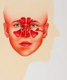 Medicinsk illustration av den mänskliga bihålan Arkivfoton