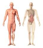 Medicinsk illustration av en mänsklig anatomistordia, sikt Skelettet, muskler, inre organ som visar separata delar Royaltyfri Foto