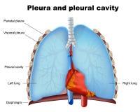 Medicinsk illustration för lungalungsäck och för pleural hål på vit bakgrund royaltyfri illustrationer