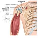 Medicinsk illustration för skuldraanatomi 3d med armmuskler royaltyfri illustrationer