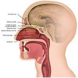 Medicinsk illustraton för lukt- nerv på vit bakgrund royaltyfri illustrationer
